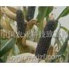 超甜黑色玉米种子