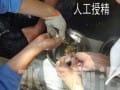 黄颡鱼人工繁殖技术初探