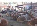 西门塔尔牛的养殖经验