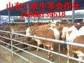肉牛的养殖管理三四年