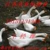 低价出售大白沙鹅苗/兴国灰鹅/莱茵鹅