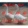 皖西白鹅价格|朗德鹅价格|阳江鹅价格
