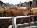 鲁西黄牛夏洛来牛西门塔尔牛价格山东三农牛羊合作社