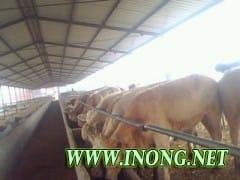 山东三农牛羊合作社刚出栏了一批肉牛犊羊羔