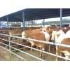 肉牛价格|肉牛养殖