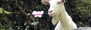 白山羊养殖场销售白山羊羊羔品牌
