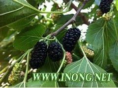 新品种果桑苗