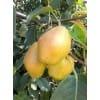 陕西红香酥、黄冠梨、水晶梨、酥梨大量出售