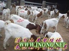 供常年出售小尾寒羊波尔山羊肉牛免费送货提供养殖技术