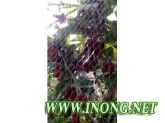 果桑种植招商加盟
