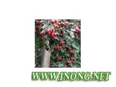 供应8公分山楂树、枣树、苹果树、梨树、石榴树、杏树、核桃树
