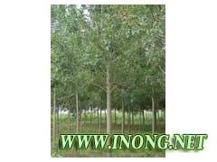 供求七叶树、冬青球、栾树、碧桃、山桃树、火炬树、皂角树