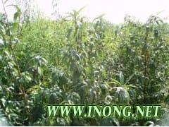 供应毛桃苗、樱桃苗、枣树苗、核桃苗、杏树苗、钙果苗