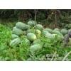 供应甜王西瓜(每年的6.7.8月份) 西瓜批发 西瓜