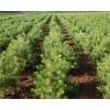 大批量供应50公分优质陕西白皮松树苗