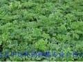 华烁关于白芷籽种植管理与市场前景分析