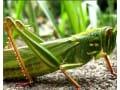 【时事专题】蚂蚱养殖 变害为宝