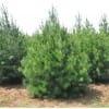 5.5米高优质陕西白皮松树苗求购信息