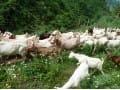 湖北房县人均养羊收入超1100元
