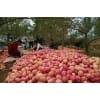 山东苹果价格今日红富士苹果价格