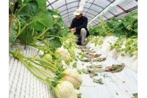 日本推出白色草莓 9颗草莓售价1731元