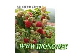中林三号大果型双季红树莓