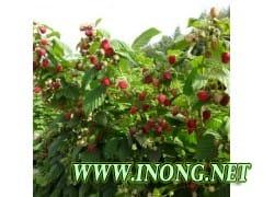 美国品种海尔特兹双季红树莓