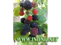 智力黑树莓 黑树莓品种 价格 图片