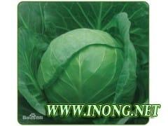 河北唐山市优质甘蓝 卷心大头菜