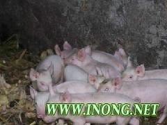 供应仔猪价格/山东三元仔猪销售什么价格