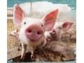 【养殖致富】致富经系列节目:花样养猪赚大钱