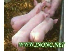 山东仔猪供应基地价格