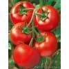 大量供应以色列大红西红柿