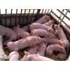 仔猪多少钱一斤 仔猪多少钱一头 哪里出售仔猪价格便宜
