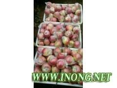 山东苹果销售价格