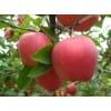 今日苹果产地交易批发价格 红将军红富士直销火热供应