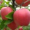 今日红富士苹果多少钱一斤 精品苹果基地低价直销产地批发