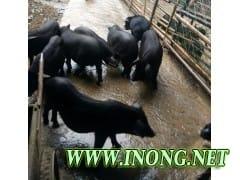 原生态放养野香猪
