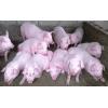 山东仔猪繁育基地批发价格 今日三元仔猪市场价格走势