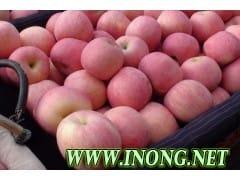 大量精品红富士苹果产地最新行情