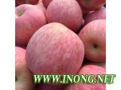 山东苹果价格今日红富士苹果哪里有哪里便宜