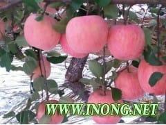 优质红富士苹果产地直销