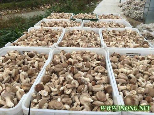 福建明溪:新品种花菇168喜获丰收