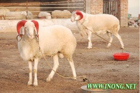 悲喜交加的养羊人 这下有福了 羊价将会进一步上涨