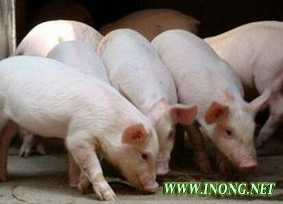 """春节 是猪价最大的一个""""陷阱"""""""