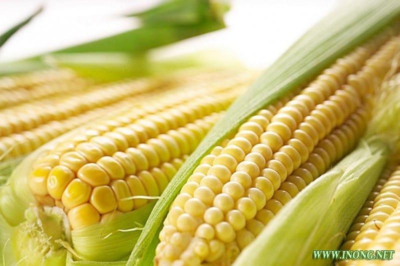 玉米价格跌跌不休 2017年将如何维持?