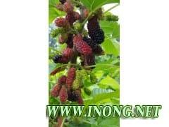 供应新品种大个果桑苗