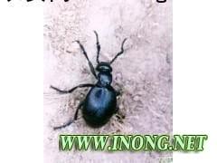 安徽天宇虫业 限量供应优质地胆虫药材 稀缺中药材