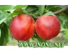 陕西中油13号油桃(46-28)油桃产地价格