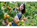 万亩金太阳杏种植基地
